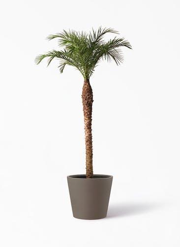 観葉植物 フェニックスロベレニー 10号 ポリッシュ コニック  ブラウン 付き