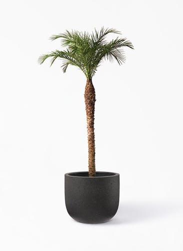 観葉植物 フェニックスロベレニー 10号 コーディル Uポット  ブラック 付き
