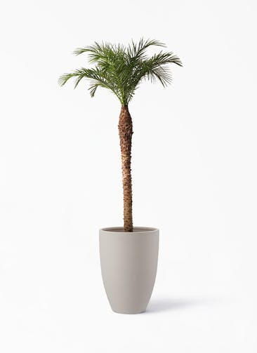 観葉植物 フェニックスロベレニー 10号 ポリッシュ トール  クリーム 付き