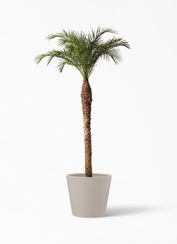 観葉植物 フェニックスロベレニー 10号 ポリッシュ コニック  クリーム 付き