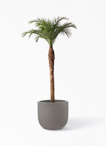 観葉植物 フェニックスロベレニー 10号 コーディル Uポット  グレー 付き