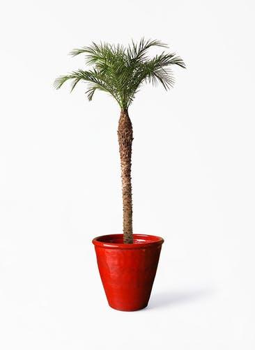 観葉植物 フェニックスロベレニー 10号 Antique Terra Cotta (アンティークテラコッタ)  Red 付き