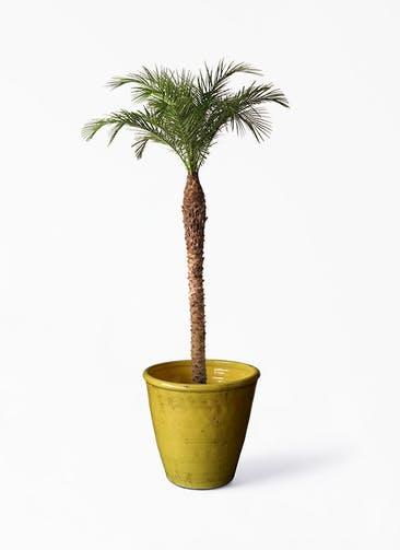 観葉植物 フェニックスロベレニー 10号 Antique Terra Cotta (アンティークテラコッタ)  Yellow 付き