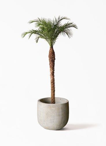 観葉植物 フェニックスロベレニー 10号 Sheer Pot (シアーポット)  付き