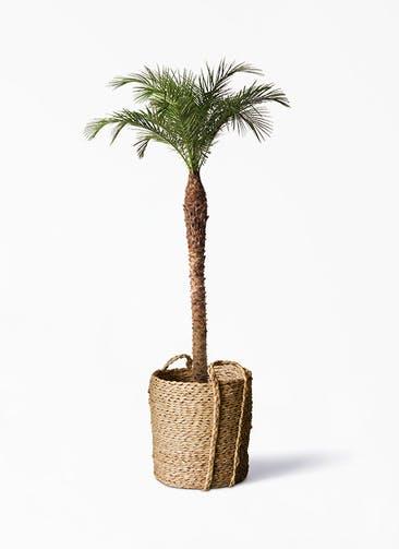 観葉植物 フェニックスロベレニー 10号 LushBasket(ラッシュバスケット)  付き
