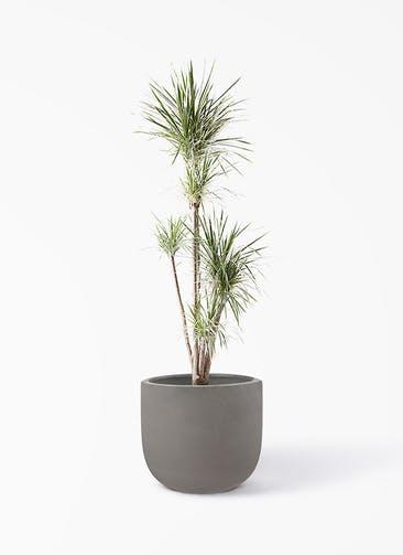 観葉植物 コンシンネ ホワイポリー 10号 ストレート コーディル Uポット  グレー 付き