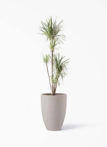 観葉植物 コンシンネ ホワイポリー 10号 ストレート ポリッシュ トール  クリーム 付き