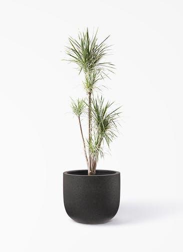観葉植物 コンシンネ ホワイポリー 10号 ストレート コーディル Uポット  ブラック 付き
