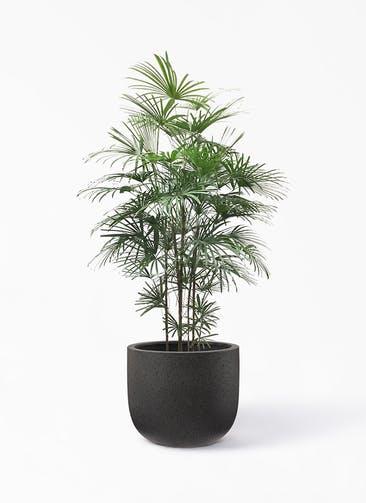 観葉植物 シュロチク(棕櫚竹) 10号 コーディル Uポット  ブラック 付き
