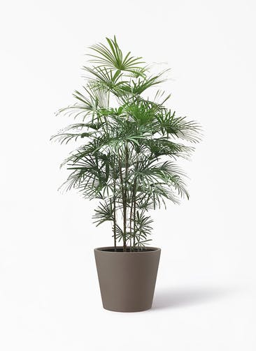 観葉植物 シュロチク(棕櫚竹) 10号 ポリッシュ コニック  ブラウン 付き