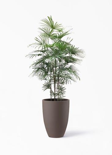 観葉植物 シュロチク(棕櫚竹) 10号 ポリッシュ トール  ブラウン 付き