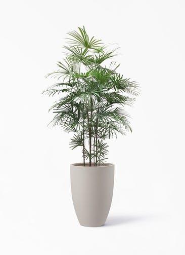 観葉植物 シュロチク(棕櫚竹) 10号 ポリッシュ トール  クリーム 付き