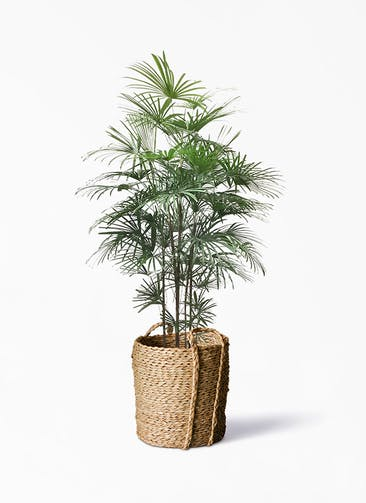観葉植物 シュロチク(棕櫚竹) 10号 LushBasket(ラッシュバスケット)  付き