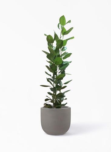 観葉植物 フィカス ベンガレンシス 10号 寄せ コーディル Uポット  グレー 付き