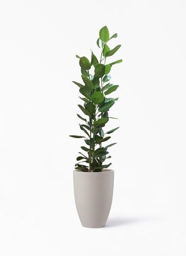 観葉植物 フィカス ベンガレンシス 10号 寄せ ポリッシュ トール  クリーム 付き