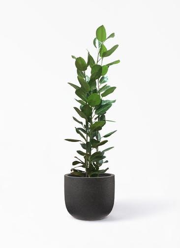 観葉植物 フィカス ベンガレンシス 10号 寄せ コーディル Uポット  ブラック 付き