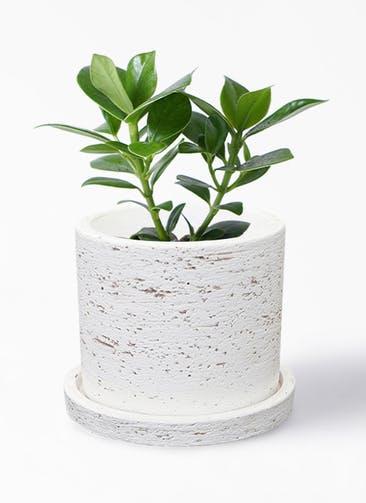 観葉植物 クルシア ロゼア プリンセス 4号 ブロンクス シリンダー  ホワイト 付き