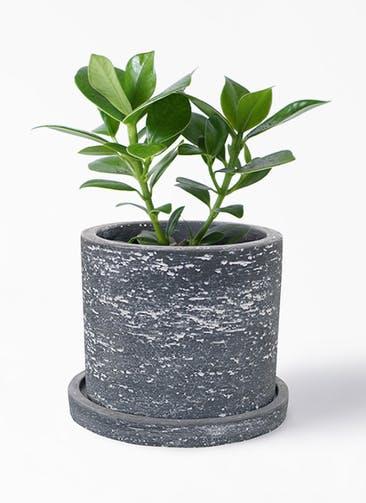 観葉植物 クルシア ロゼア プリンセス 4号 ブロンクス シリンダー  ブラック 付き