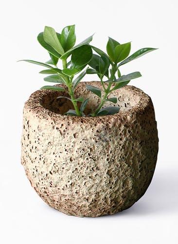 観葉植物 クルシア ロゼア プリンセス 4号 Coral Pot (コーラルポット)  ホワイト 付き
