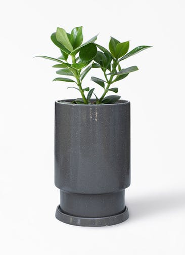 観葉植物 クルシア ロゼア プリンセス 4号 フロウ トール  グレー 付き