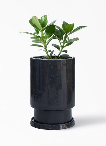 観葉植物 クルシア ロゼア プリンセス 4号 フロウ トール  ブラック 付き