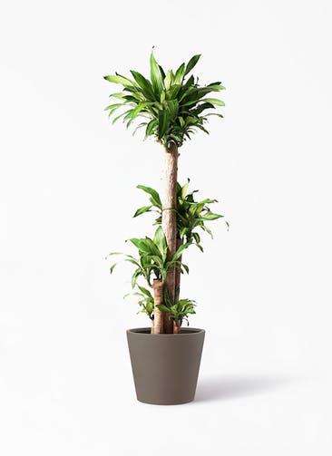 観葉植物 ドラセナ 幸福の木 10号 ノーマル ポリッシュ コニック  ブラウン 付き