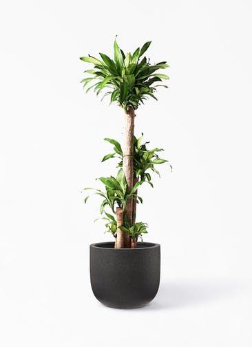 観葉植物 ドラセナ 幸福の木 10号 ノーマル コーディル Uポット  ブラック 付き