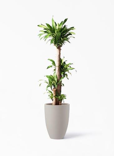 観葉植物 ドラセナ 幸福の木 10号 ノーマル ポリッシュ トール  クリーム 付き