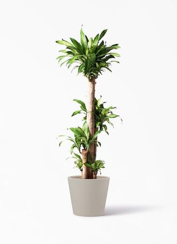 観葉植物 ドラセナ 幸福の木 10号 ノーマル ポリッシュ コニック  クリーム 付き