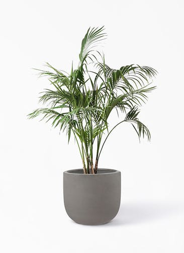 観葉植物 ケンチャヤシ 10号 コーディル Uポット  グレー 付き