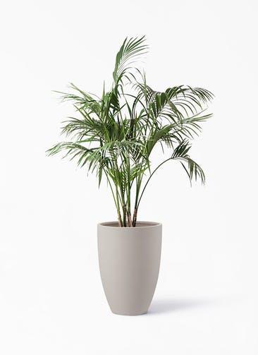 観葉植物 ケンチャヤシ 10号 ポリッシュ トール  クリーム 付き