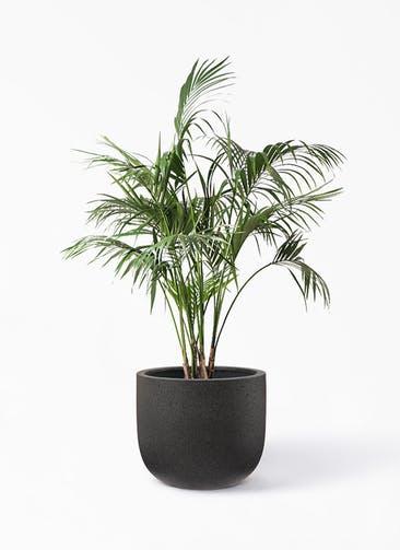 観葉植物 ケンチャヤシ 10号 コーディル Uポット  ブラック 付き