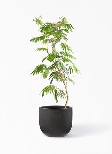 観葉植物 エバーフレッシュ 10号 曲り コーディル Uポット  ブラック 付き