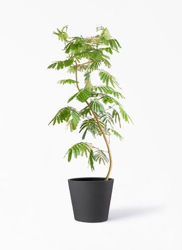 観葉植物 エバーフレッシュ 10号 曲り ポリッシュ コニック  チャコール 付き