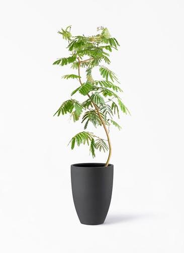 観葉植物 エバーフレッシュ 10号 曲り ポリッシュ トール  チャコール 付き