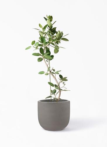 観葉植物 フィカス ベンガレンシス 10号 曲り コーディル Uポット  グレー 付き