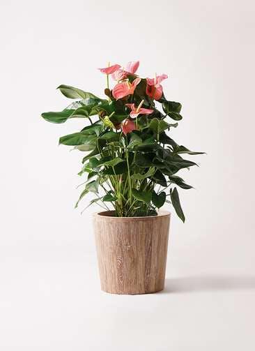 観葉植物 アンスリウム 10号 ピンクチャンピオン ウッドプランター 付き