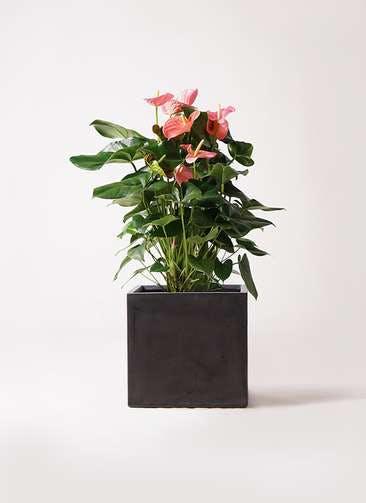 観葉植物 アンスリウム 10号 ピンクチャンピオン ファイバークレイ キューブ 付き