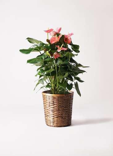観葉植物 アンスリウム 10号 ピンクチャンピオン 竹バスケット 付き