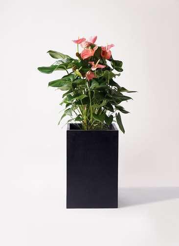 観葉植物 アンスリウム 10号 ピンクチャンピオン セドナロング 墨 付き