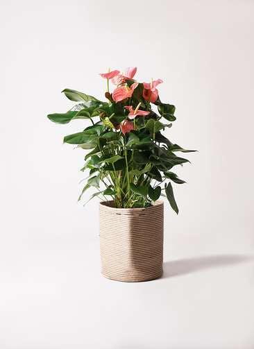 観葉植物 アンスリウム 10号 ピンクチャンピオン リブバスケットNatural 付き