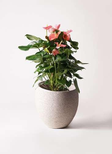 観葉植物 アンスリウム 10号 ピンクチャンピオン エコストーンLight Gray 付き