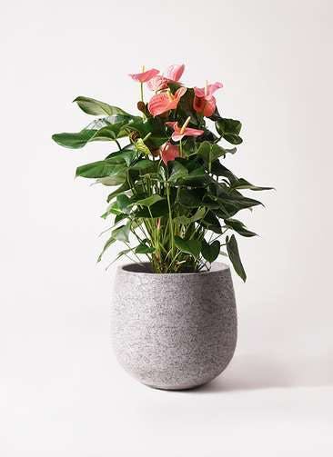 観葉植物 アンスリウム 10号 ピンクチャンピオン エコストーンGray 付き
