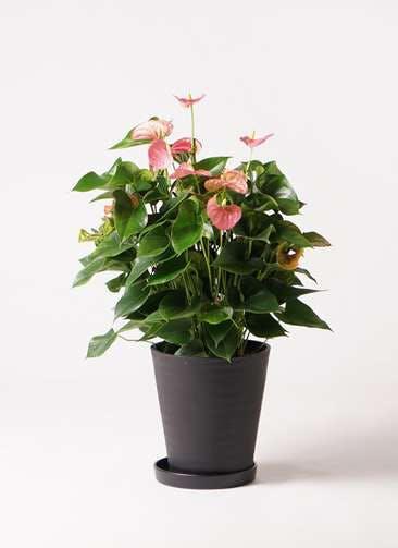 観葉植物 アンスリウム 8号 ピンクチャンピオン プラスチック鉢