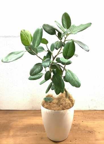 観葉植物 フィカス ベンガレンシス 【95cm】 フィカス ベンガレンシス 8号 曲り #31822 ラスターポット付き