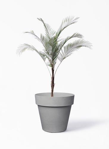 観葉植物 ヒメココス 8号 ライク ラウンド  グレー 付き