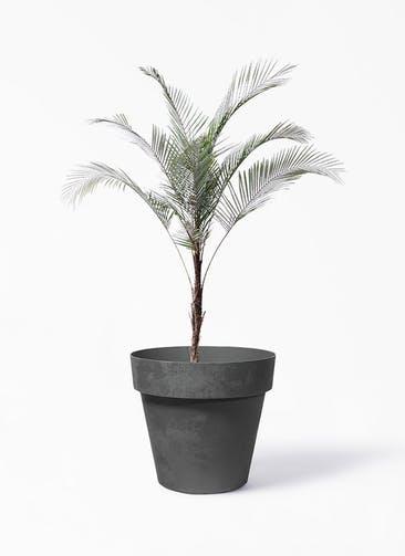 観葉植物 ヒメココス 8号 ライク ラウンド  ブラック 付き