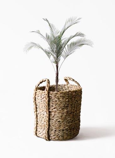 観葉植物 ヒメココス 8号 LushBasket(ラッシュバスケット)  付き