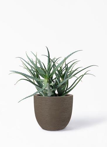 観葉植物 キダチアロエ 8号プラスチック鉢 ヴォークス ラウンド  マキアート 付き
