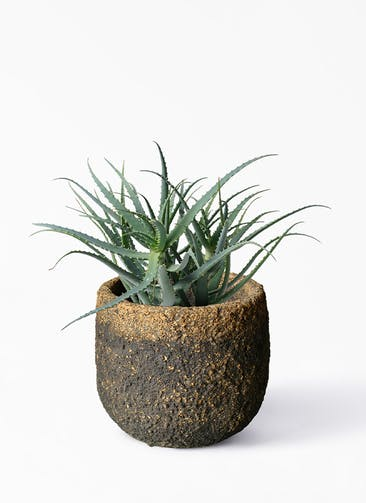 観葉植物 キダチアロエ 8号プラスチック鉢 Coral Pot (コーラルポット)  ブラック 付き